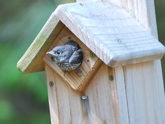 Eastern Bluebird Fledgling #3 (karisrene) Tags: bird georgia backyard bluebird suwanee fledgling easternbluebird babybluebird