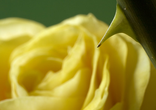 Yellow Rose Thorn by andrewprice001, on Flickr