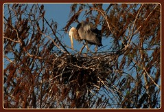 A-N-T-I-C-I-P-A-T-I-O-N......... (JJSnickers) Tags: blue bird heron nest florida wildlife great jenny jackson bradenton gbh jjsnickers dailynaturetnc09