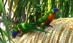 (Mal Doobie) Tags: bird backyard lore