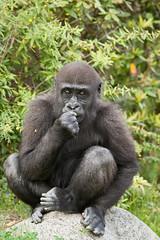 2009-04-30-14h55m18.272P3227l (A.J. Haverkamp) Tags: zoo rotterdam blijdorp gorilla dierentuin diergaardeblijdorp adira westelijkelaaglandgorilla canonef14xiiextender httpwwwdiergaardeblijdorpnl canonef300mmf4lisusmlens pobrotterdamthenetherlands dob12102006