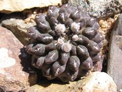 Eriosyce heinrichiana var.dimorpha HS 09 (bramwellii) Tags: cactaceae eriosyce dimorpha heinrichiana jardindecactusdetoledo horticulturalosserrano09 colecciónfélixloarte