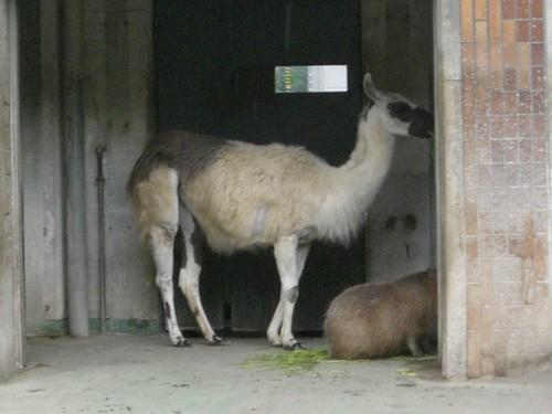 ラマ/Llama