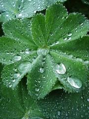 collecting (On Bradstreet) Tags: raindrops urbangarden springrain inthegarden ladysmantle organicgarden urbanhomesteading springfreaks gardenintherain beachcottagegardening