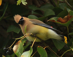 Cedar Waxwing (William  Dalton) Tags: bird birds waxwing bombycillacedrorum explore58 animalkingdomelite ultimateshot cedarwaxing rubyphotographer