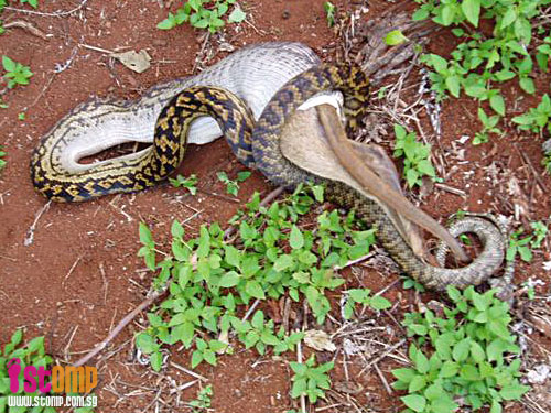 Beware of pythons in S'pore: Just look at this snake swallowing a kangaroo