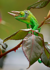 Jackson's Chameleon (BBMaui) Tags: africa green beautiful animal hawaii ancient reptile maui jackson exotic prehistoric chameleon kula reptilia jacksonschameleon chamaeleonidae threehornedchameleon chamaeleojacksonii