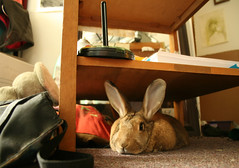 sweetie beast (Carli Vgel) Tags: rabbit bunny afternoon sister sleepy sweetie bigears houserabbit flopped carlikirstin lazybuns ladydarling carlivgel