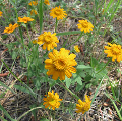 woolly sunflower? arnica?