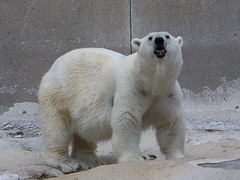 Kenda the Polar Bear {cropped}