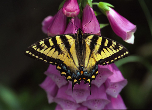 Tiger Swallowtail.Flickr
