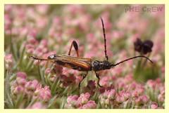 Stenopterus ater (PheCrew) Tags: macro photoshop bug insect rufus makro phe soken stenopterus unlimitedinsectslevel1