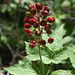 baneberry - Photo (c) Peter Gorman, some rights reserved (CC BY-NC-SA)