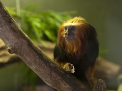 Golden-headed Tamarin II (Jim Nicholson) Tags: goldenheadedtamarin leontopithecuschrysomelas nikon nikkor50mmf18 marwell zooanimal d300 nikond300 tamarin newworldmonkey jimnicholson gb gbr