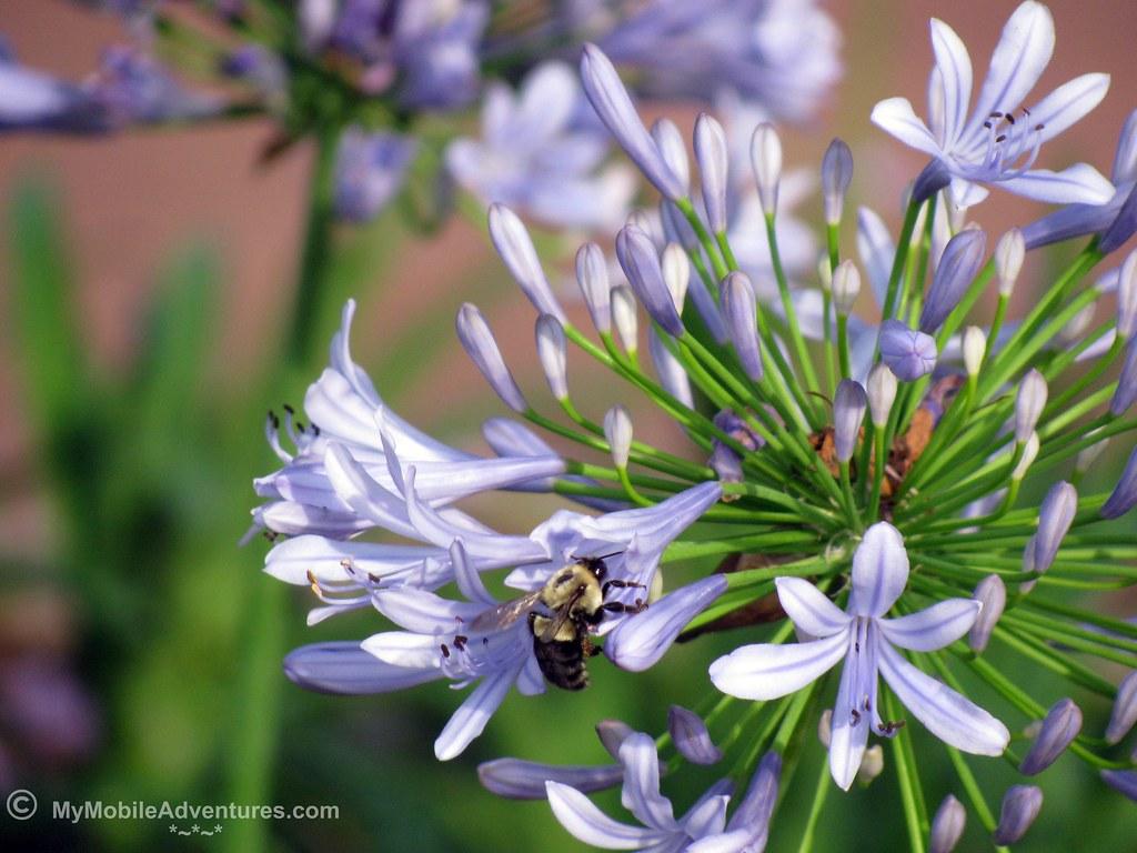 IMG_1196-WDW-EPCOT-jacaranda-bee