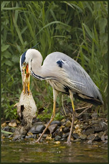 McDuck Supersized.. (hvhe1) Tags: wild food bird heron nature animal dinner river duck bravo kill searchthebest feeding wildlife maas waterfowl cruel interestingness2 naturesfinest specanimal animalkingdomelite hvhe1 hennievanheerden avianexcellence