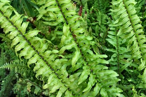 Nephrolepis cordifolia 'Plumosa' (rq) - 02