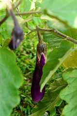 Working the garden: brinjal