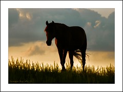 """Say Goodnight, Gracie"" (Images by A.J.) Tags: light sunset shadow sky horses horse cloud eye silhouette female clouds bay twilight mare wind dusk pennsylvania farm tail country pa pasture farms breeze equine mane stables equus paddock fallowfield equines lpcrepuscular"