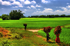 Everyday Village Life (Tipu Kibria~~BUSY~~) Tags: life sky woman green nature clouds canon eos village paddy crop bangladesh paddyfield villagelife netrokona canonefs1785mmisusm xti colouer 400d birishiri