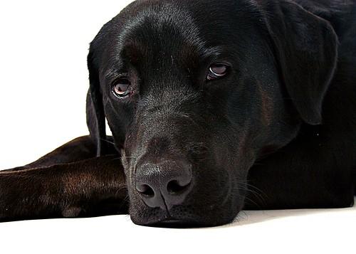 フリー写真素材, 動物, 哺乳類, イヌ科, 犬・イヌ, ラブラドール・レトリバー,