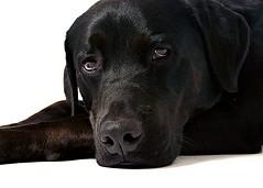 [フリー画像] 動物, 哺乳類, イヌ科, 犬・イヌ, ラブラドール・レトリバー, 201005011100