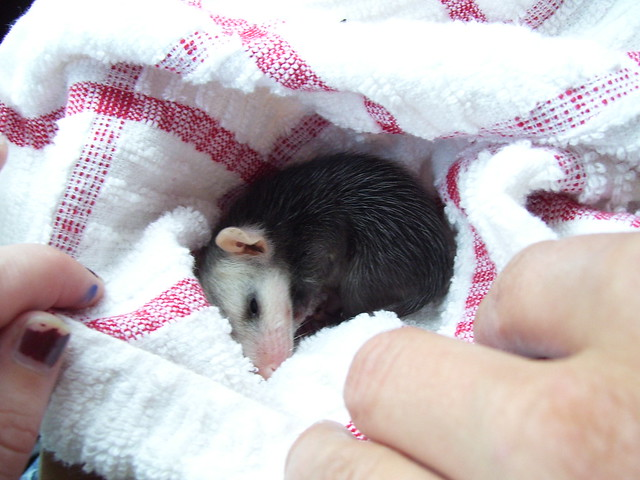 Res-cute Possum!