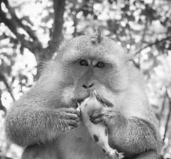 bw bali white black animal fruit indonesia mammal temple monkey sony banana uluwatu alpha primate a900