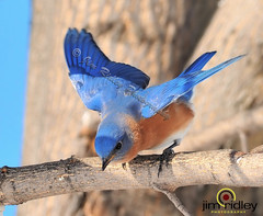 Male Blue Bird (JRIDLEY1) Tags: blue winter sky white tree branch bluebird soe potofgold naturesfinest bej zenfolio abigfave avianexcellence brightonmichigan ysplix theunforgettablepictures nikond3 rubyphotographer jridley1 jimridley vr80400mmnikonlens photocontesttnc09 dailynaturetnc09 httpjimridleyzenfoliocom photocontesttnc10 lifetnc10 jimridleyphotography photocontesttnc11 photocontesttnc12