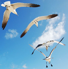 Seagulls in flight (sirca1) Tags: sky seagulls bird nature animal freedom fly wildlife seagull cristina flight sharpes arquimbau