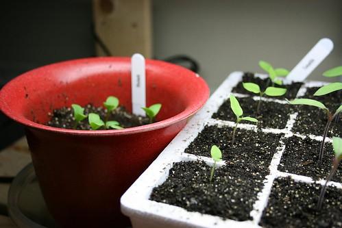 Seed starting 2009