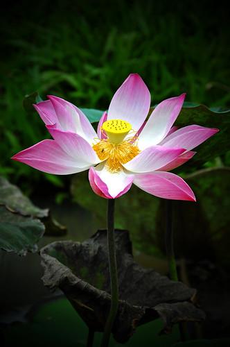 フリー写真素材, 花・植物, 蓮・ハス, ピンク色の花,