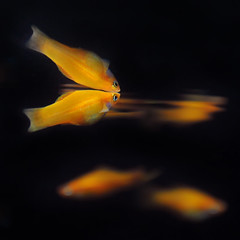 ~ Fish Reflection ~