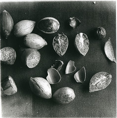 Palm seeds from a Rhopaloblaste species