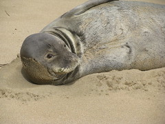 IMG_2350 (danesk) Tags: monk seal
