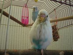 PunkBirdy (1) (Jewgirl952) Tags: memorial budgie parakeet