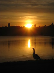 Watching the Sun (historygradguy (jobhunting)) Tags: sunset sun reflection bird water animal silhouette boston ma massachusetts newengland goose reservoir mass brookline chestnuthill bigmomma challengeyouwinner platinumheartaward