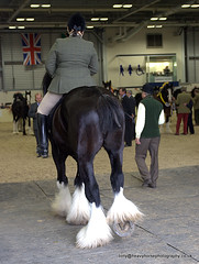 IMG_8897 (Tony Golding) Tags: show horse canon spectacular spring flickr mare driving carraige shire heavy society peterborough stallion equine draft drafthorse plait turnout workinghorse shirehorse gelding dray brasses plaiting draughthorse heavyhorse eastofengland canon400d shirehorsespringshow tonygolding heavyhorsephotography shirehorsesocietyspringshowcollection forgetmenothere