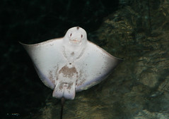 Happy Ray (Clicksy) Tags: ocean life sea fish smile face swim happy aquarium ray stingray sting