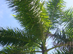 Palm Tree (WELS.net) Tags: tree nature branches palm jamaica streams wels adunning