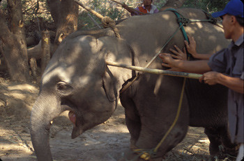 Elephant being jabbed with nails