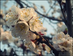 (sonitko) Tags: flowers sky white spring kwiaty wiosna vosplusbellesphotos