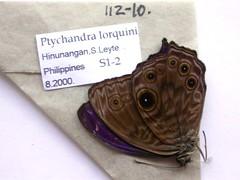 Ptychandra lorquini