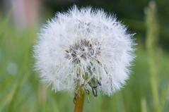 Dandelion-9 (EDBW) Tags: white plant flower macro iso3200 dandelion f22 60mm nikkor 3200 lightroom 1125 macrolens d300 wishingflower