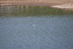 DSC_0651 (softnsultryjazz) Tags: loons walkonwater lopezlake ryry runawayfromhome jewjew