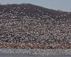 Water Landing (MannCreekProductions) Tags: waterfowl middlecreek snowgeese