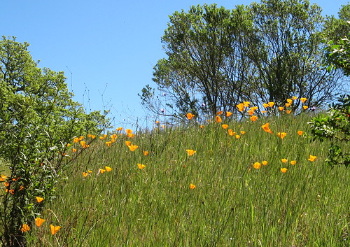 Poppies on a steep hillside