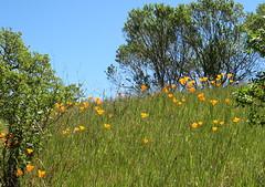Poppies on a steep hillside