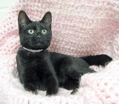 Princess Peach, a Sleek, Beautiful, Black Girl Kitten (Pixel Packing Mama) Tags: lovely1 gorgeous adorable catsandkittensset furryfriday exclamationpoints 15favourites bcb heartlandhumanesociety catpix pixelpackingmama blackcatspool dorothydelinaporter worldsfavorite montanathecat~fanclubpool spcacatspool theoneblackcatpool ceruleanthecat~fanclubpool exclamationpointspool pixwithexclamationpointsincommentsset justmoggiespool glamourcatmagazinepool blackcatskittensset allcatsallowedpool blackanimalspool bobbleheadprototypesset blackcatspathpool maskedblackcatspool canonpowershota720isiistart112508set canonallcanoniistart112508set thecorvallisoregonyearsiistarting112508set uploadedfirsthalfof2009set favoritedpixvoliistartingjanuary12009set uploadedfirsthalfof2009 thecorvallisoregonyearspart7set blackcatskittenspool thecorvallis oregonyearspart7setcanonpowershota720isiistart112508setcanonallcanoniistart112508setthecorvallis oregonyearsiistarting112508setuploadedfirsthalfof2009 {catsandkittensset pixelpackingmama~prayforkyronhorman oversixmillionaggregateviews over430000photostreamviews