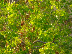 Old tree with leaves fresh and old(dry) (michael196) Tags: old tree green grass leaves yellow forest leaf dry fresh leafs leafes dryleaves leavs leav